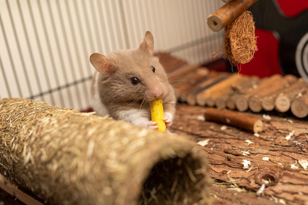 Bien nourrir le hamster que vous avez achete