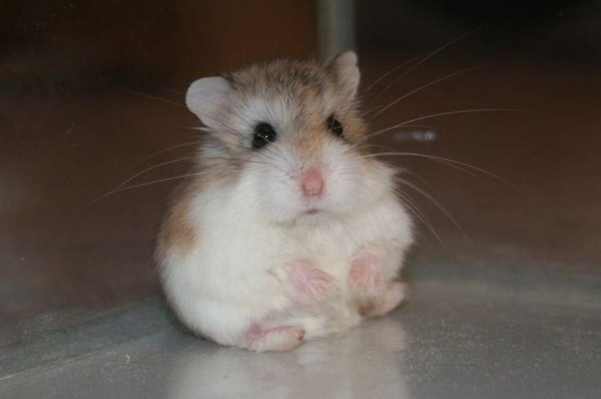 Comment prendre soin d'un hamster chinois