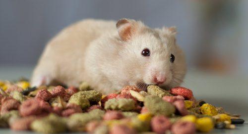 Que mange un hamster