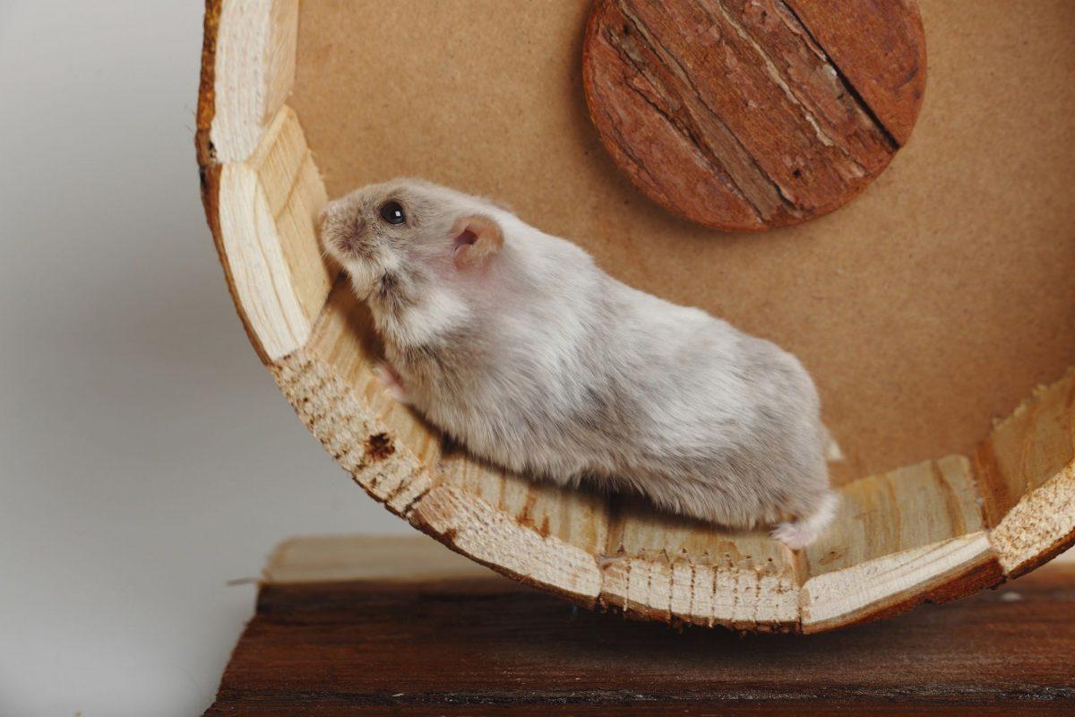 Tout savoir sur les roues pour hamster et leurs spécifications
