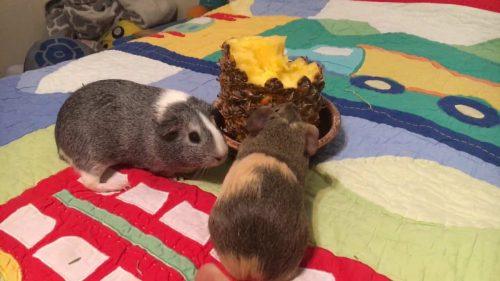 Assurer une alimentation équilibrée à son cochon d'Inde-4