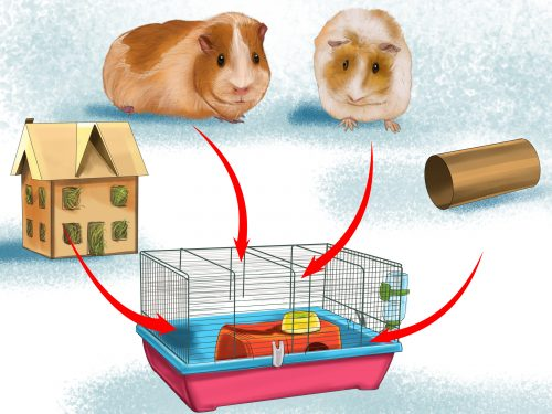 Comment traiter la teigne chez le cochon d'Inde