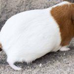 Quelle est l'espérance de vie d'un cochon d'Inde en moyenne ?