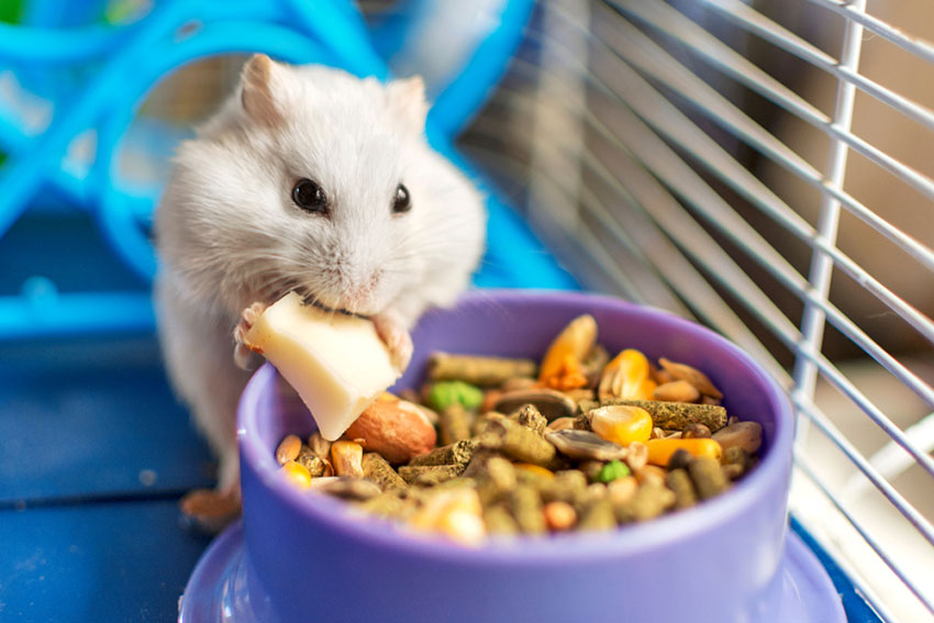 Quand donner des friandises bio à ses hamsters