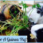 Tout ce qu'il faut savoir avant d'adopter un cochon d'Inde