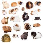 Ce qu'il faut savoir des races de cochon d'Inde
