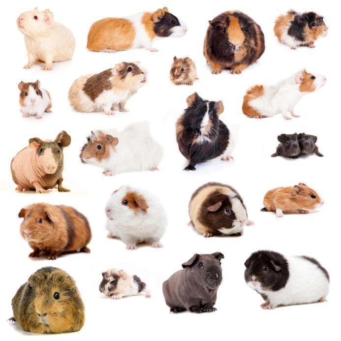 principales races du cochon d'Inde